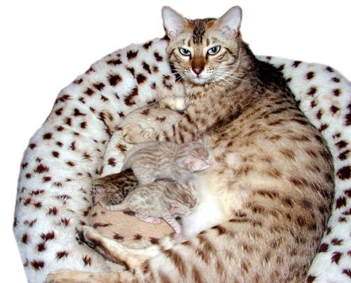 Bengal Cats Color Genetics Of Cats  Dilute And Solid Color