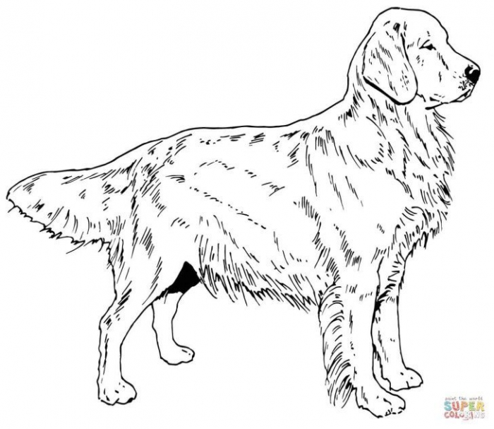 Golden Retriever Coloring Page Golden Retriever Dog Coloring Page