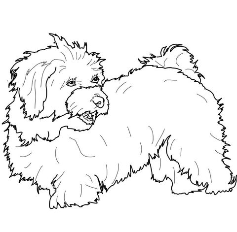 Havanese Coloring Page