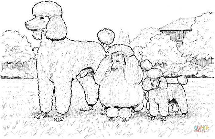 Poodle Dog Coloring Pages