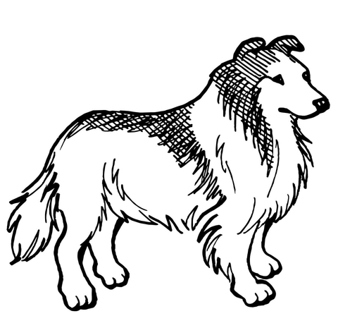 Rough Collie Dog Coloring Page