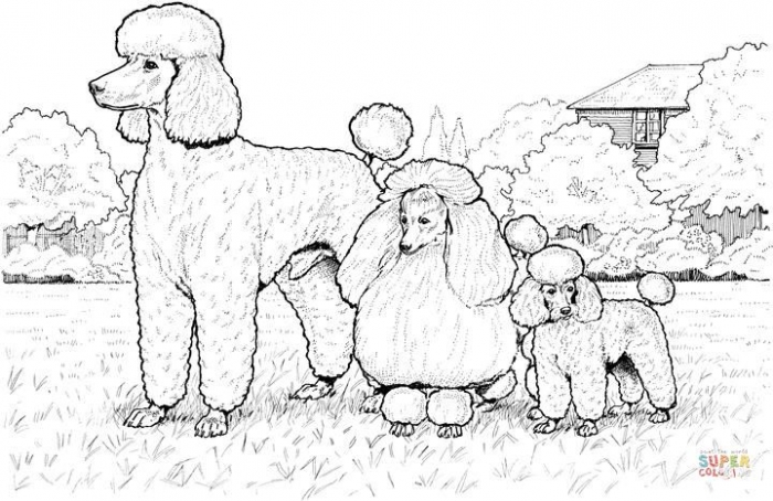 Standard  Miniature And Toy Poodles