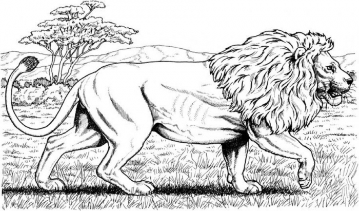 Free Printable Realistic Lion Coloring Pages For Grown Ups