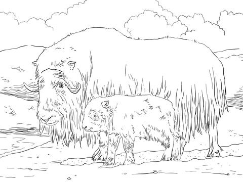 Musk Ox Mother And Baby Coloring Page