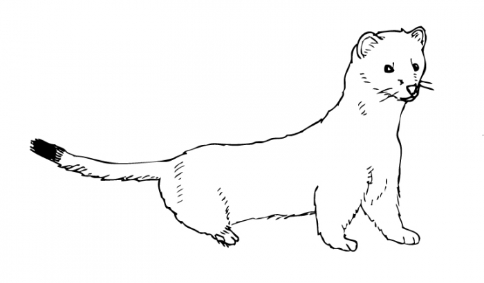 Stoat Clipart Zakka Ch Ermine Coloring Pages In Collection