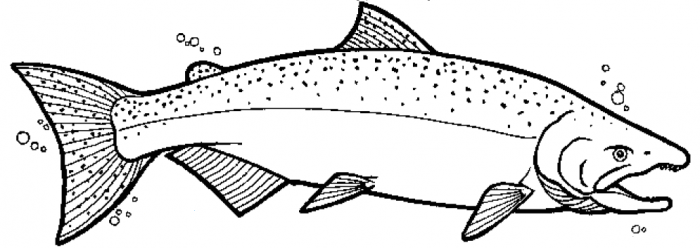 Chinook Salmon Coloring Page