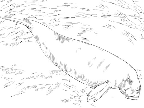 Dugong Sea Cow Coloring Page