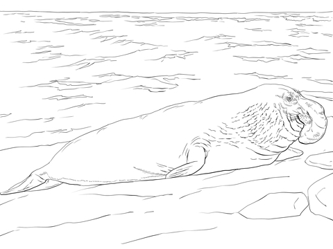 Elephant Seal On The Shore Coloring Page
