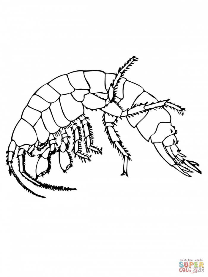 Freshwater Shrimp Coloring Page