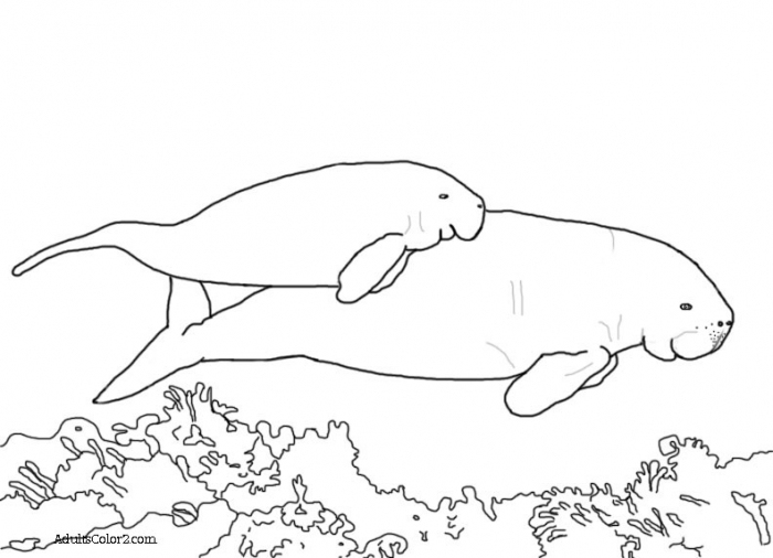 Manatee Pictures Sea Cow Coloring Page